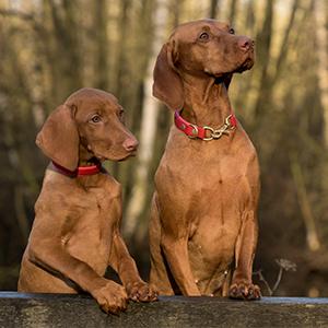 Twee bruine honden zittend in het gras zonder probleemgedrag.